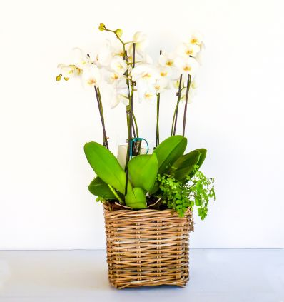 Cesta de orquideas Blancas